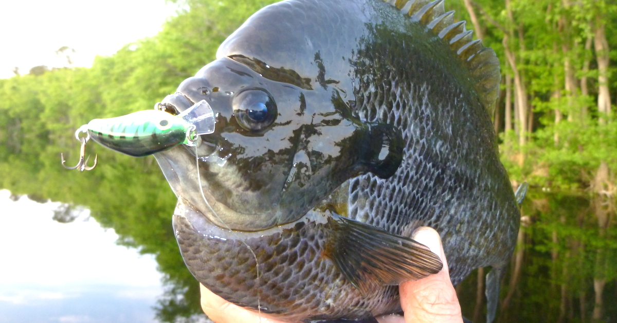 Bluegill fishing when artificials out fish live bait for Bass fishing with live bait
