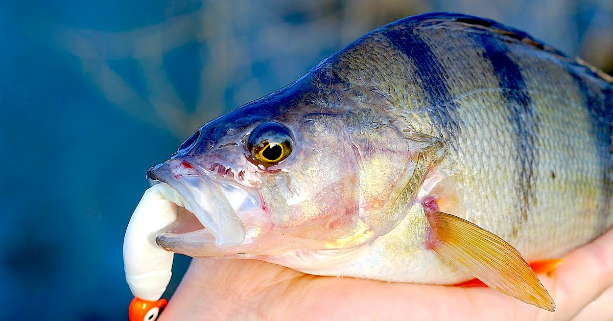 5 top rigs for perch fishing for Yellow perch fishing rigs