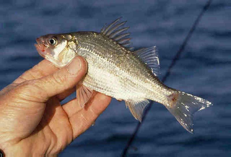 perch spawn catch