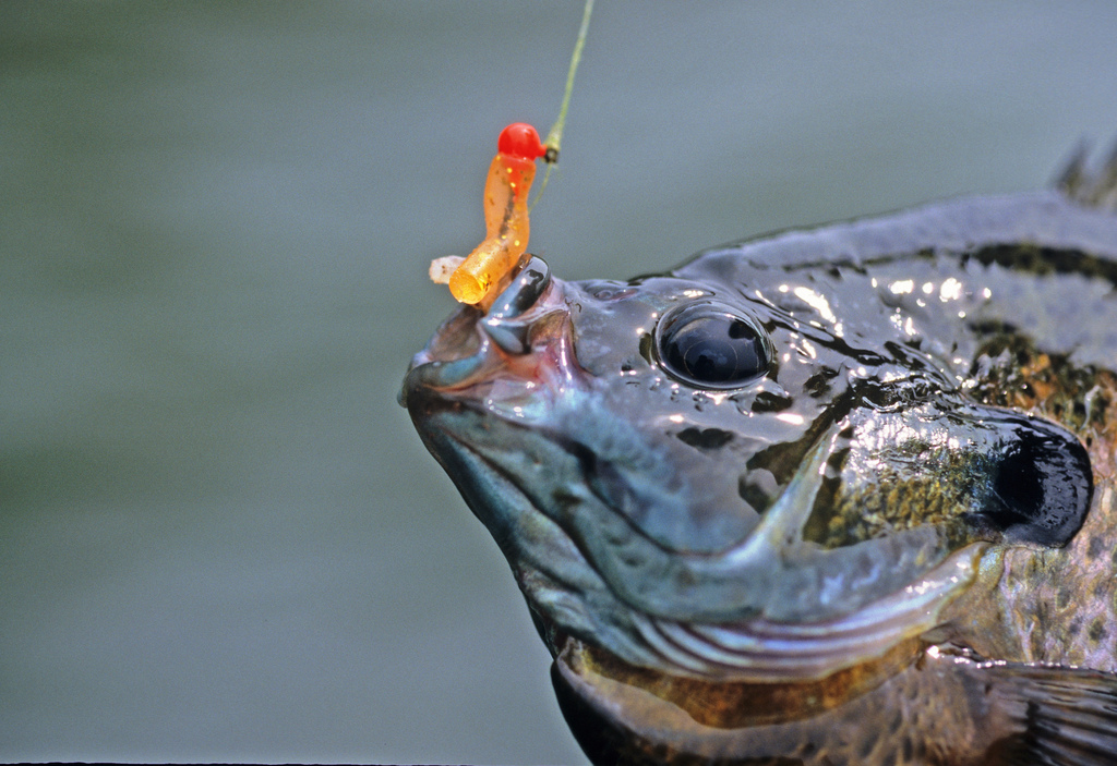 Summer panfish tips how to catch slabs in the heat for Bream fishing bait
