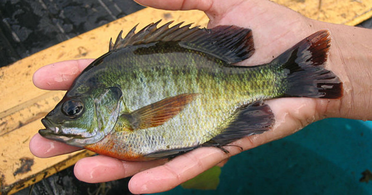 Bluegill fishing 101 how to catch bluegill for Do all fish have gills