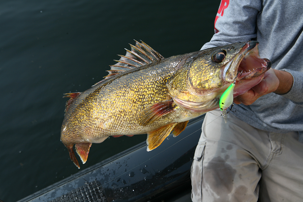catch walleye