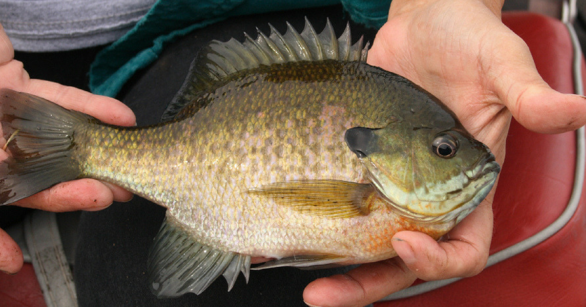 Spinnerbaits For Panfish: How to Catch Slabs On Spinnerbaits