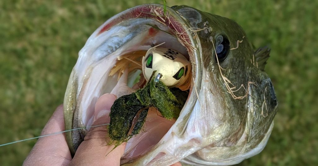 bass don't have teeth which makes landing them without a net easier than fish with teeth.